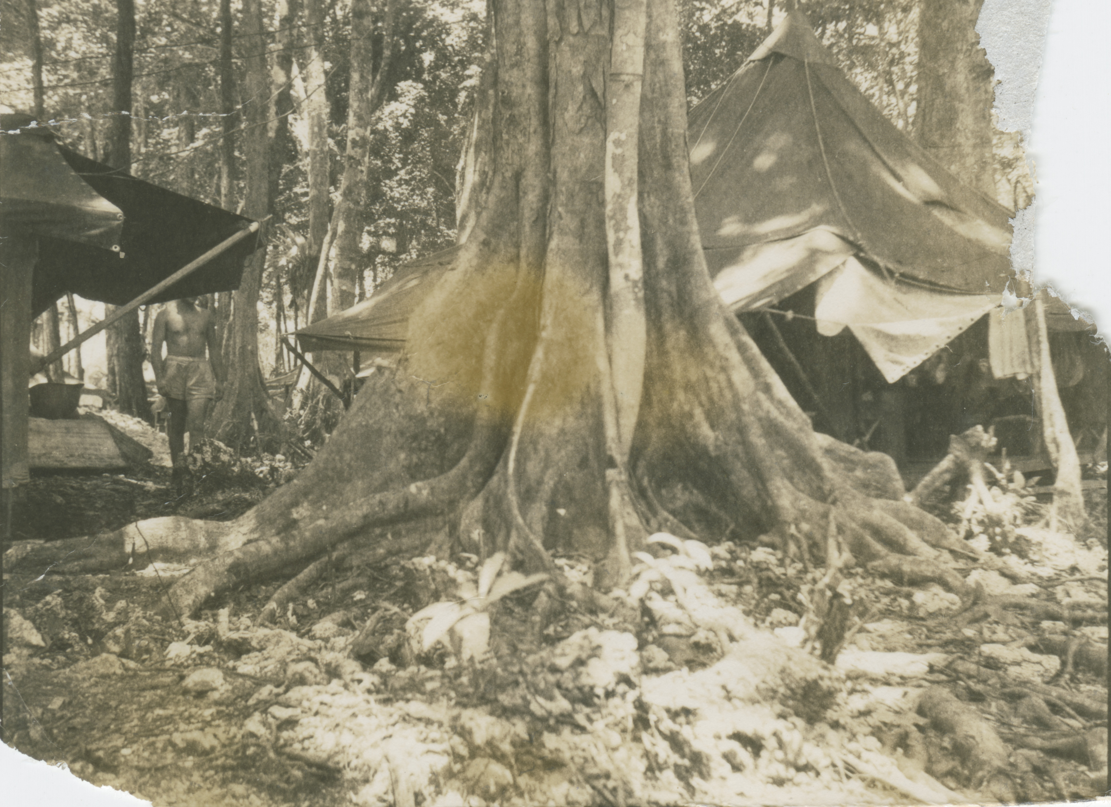 Roots of large Banyan tree near US military tents on Sterling Island in 1944 | The Digital Collections of the National WWII Museum  Oral Histories & Roots of large Banyan tree near US military tents on Sterling ...